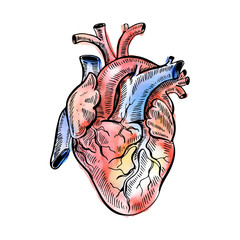 Hand drawing watercolor sketch anatomical heart. Doodle vector illustration.