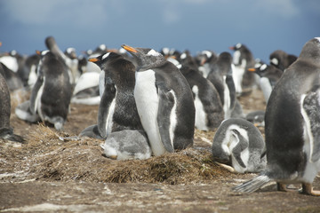 Colony of Gentoo penguins at Volunteer Point, Falkland Islands