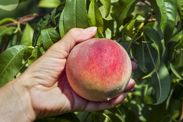 Picking a Ripe Peach by Hand in an Orchard