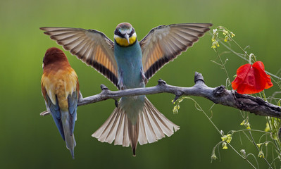 European Bee-eater (Merops apiaster) pair, male displaying, Pusztaszer, Hungary, May 2008