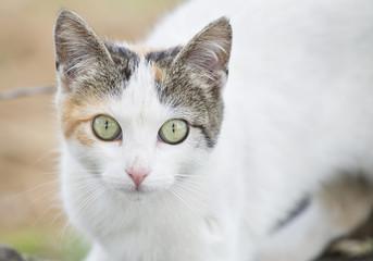 Beautiful street cat (Felis catus)