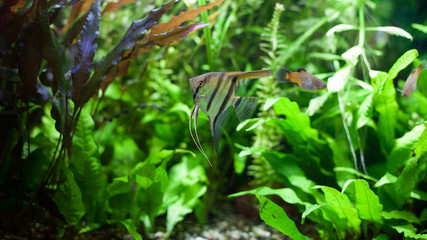 Angelfish in Tropical Aquarium