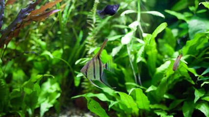 Angelfish swimming in heavily planted tropical aquarium.