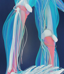 Tibia bone, human anatomy. 3D illustration.