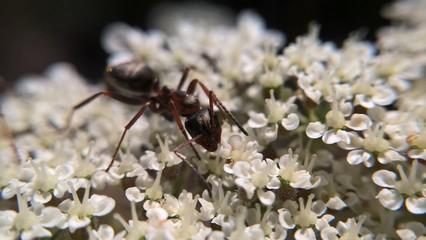Ant macro on white flower. Slovakia