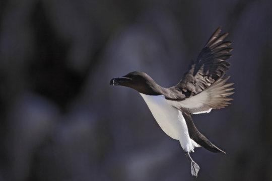 Razorbill (Alca torda) in flight, Saltee Islands, County Wexford, Ireland, June 2009