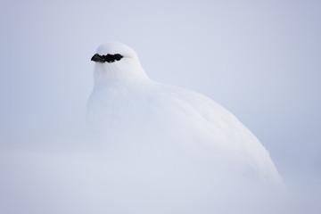Rock ptarmigan (Lagopus mutus hyperborea) in snow, Spitsbergen, Svalbard, March 2009