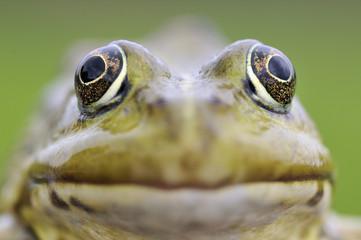 European edible frog (Rana Esculenta) close-up, Prypiat area, Belarus, June 2009