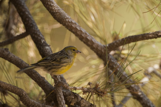 Canary (Serinus canaria) perched on branch, Teide National Park, Tenerife, Canary Islands, Spain, May 2009