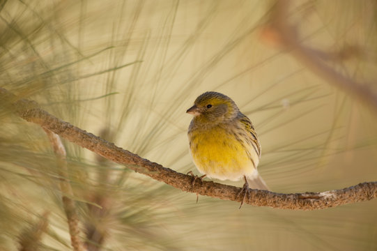 Canary (Serinus canaria) on branch, Eide National Park, Tenerife, Canary Islands, Spain, May 2009