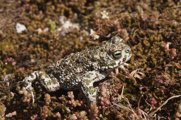 Natterjack toad (Bufo calamita) Sierra de Andújar Natural Park, Mediterranean woodland of Sierra Morena, north east Jaén Province, Andalusia, Spain, April 2009