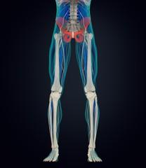 Ilium bone, human anatomy. 3D illustration.