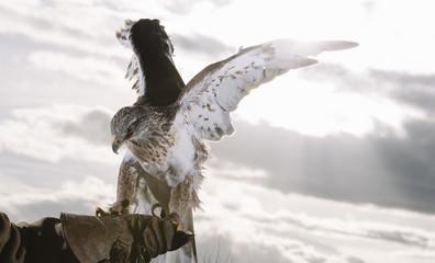 Close up of hawk sitting on man's hand