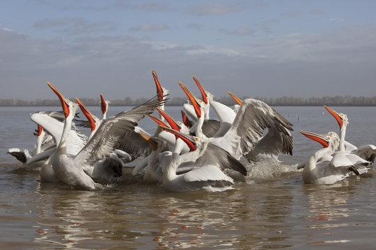 Dalmatian pelicans (Pelecanus crispus) feeding on thrown fish, Lake Kerkini, Macedonia, Greece, February 2009