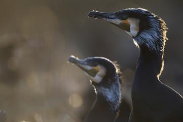 Common / Great cormorant (Phalacrocorax carbo sinensis) profile, Oosterdijk, Enkhuizen, Ijsselmeer, Netherlands, March 2009