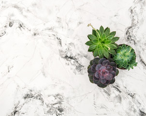 Succulent plants marble background floral flat lay