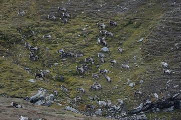 Reindeer (Rangifer tarandus) herd on rocky hillside, Forollhogna National Park, Norway, September 2008