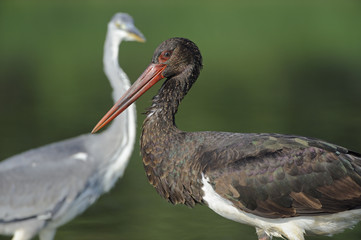 Black stork (Ciconia nigra) portrait with a Grey heron (Ardea cinerea) in the background, Elbe Biosphere Reserve, Lower Saxony, Germany, September 2008