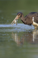 Juvenile Black stork (Ciconia nigra) with caught fish, Elbe Biosphere Reserve, Lower Saxony, Germany, August 2008