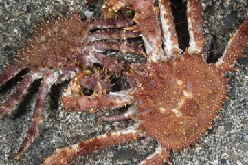Northern stone crab (Lithodes maja) pair, Trondheimsfjorden, Norway, February 2009