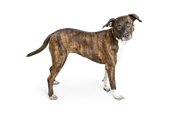 Brindle Boxer Crossbreed Dog Over White