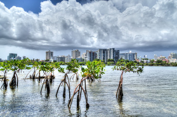 Baby Mangroves with Storm Clouds in Condado Puerto Rico
