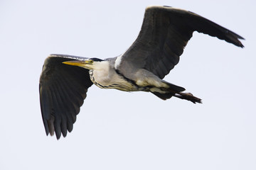 Grey heron (Ardea cinerea) in flight, Pont du Gau, Camargue, France, May 2009
