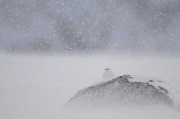 Willow grouse (Lagopus lagopus) on rock in snow, Dovrefjell National Park, Norway, February 2009