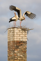 White stork (Ciconia ciconia) pair at nest on old chimney, Rusne, Nemunas Regional Park, Lithuania, June 2009
