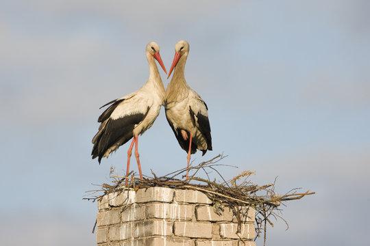 White stork pair at nest on old chimney, Lithuania