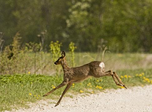 Roe deer (Capreolus capreolus) leaping, Matsalu National Park, Estonia, May 2009