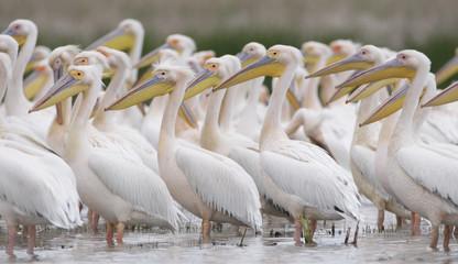 Eastern white pelicans (Pelecanus onolocratus) Danube Delta, Romania, May 2009