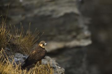 Eleonora's falcon (Falco eleonorae) on rock ledge, Andros, Greece, September 2008