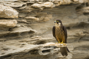 Eleonora's falcon (Falco eleonorae) perched on rock, Andros, Greece, September 2008