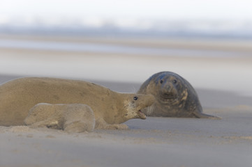 Grey seal (Halichoerus grypus) and pup covered in sand with mother protecting young, Donna Nook, Lincolnshire, UK, November 2008