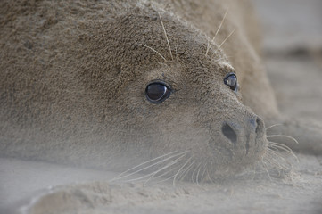 Grey seal (Halichoerus grypus) lying on beach covered in sand, Donna Nook, Lincolnshire, UK, November 2008