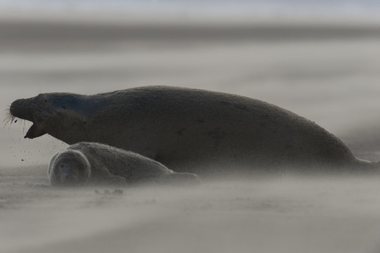Grey seal (Halichoerus grypus) with pup on beach, Donna Nook, Lincolnshire, UK, November 2008