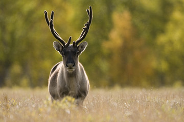 Reindeer (Rangifer tarandus) semi-domesticated, small scale herding by local Sami, Sarek National Park, Laponia World Heritage Site, Lapland, Sweden, September 2008