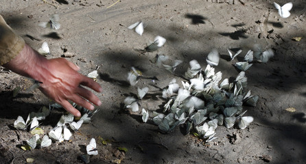 Black-veined white butterflies (Aporia crataegi) on the riverbank of Arkhyz River being disturbed by a hand, Arkhyz valley in the western part of the Teberdinsky Biosphere reserve, Caucasus, Russia, July 2008