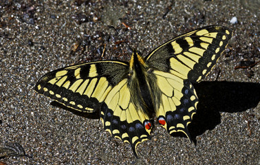 Swallowtail butterfly (Papilio machaon) sunning on a riverbank in Arkhyz section of the Teberdinsky biosphere reserve, Caucasus, Russia, July 2008