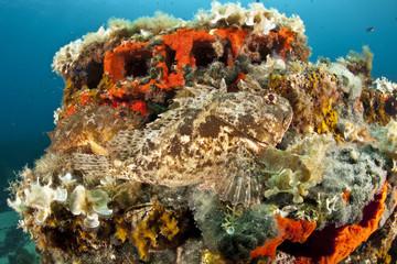Two Scorpionfish (Scorpaena porcus) lying on the artificial reef, Larvotto Marine Reserve, Monaco, Mediterranean Sea, July 2009