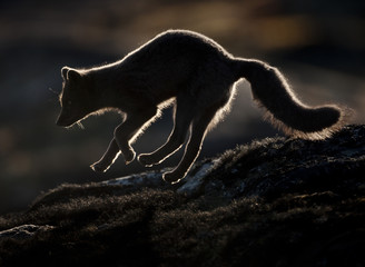 Arctic fox (Vulpes lagopus) silhouetted while jumping, Disko Bay, Greenland, August 2009