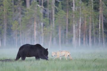 European grey wolf interacting with European brown bear