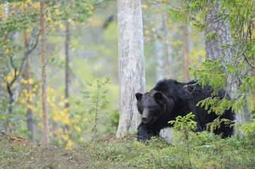Eurasian brown bear resting (Ursus arctos) Kuhmo, Finland, September 2008
