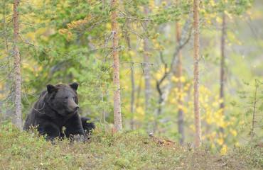 Eurasian brown bear (Ursus arctos) lying, Kuhmo, Finland, September 2008