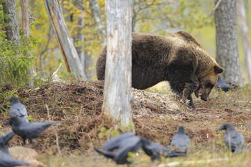 Eurasian brown bear (Ursus arctos) burying carcass, Common ravens (Corvus corax) nearby, Kuhmo, Finland, September 2008