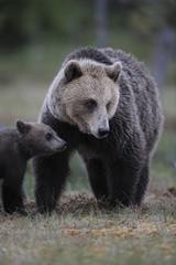 Eurasian brown bear (Ursus arctos) mother and cub, Suomussalmi, Finland, July 2008