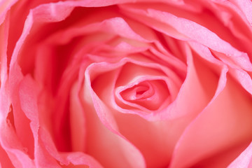Close up of beautiful  rose flower background
