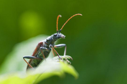Two banded longhorn beetle (Rhagium bifasciatum) on leaf, Liechtenstein, June 2009