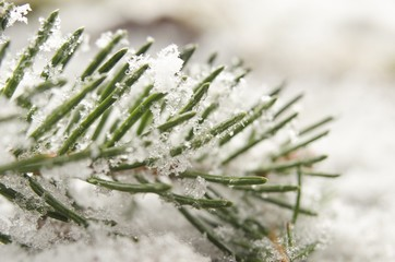 Detail of snow covered spruce twig in winter